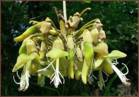 Mholtonii flower