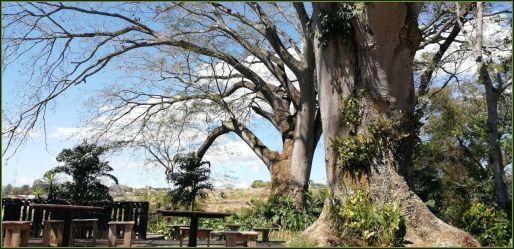 TreesPaloSanto