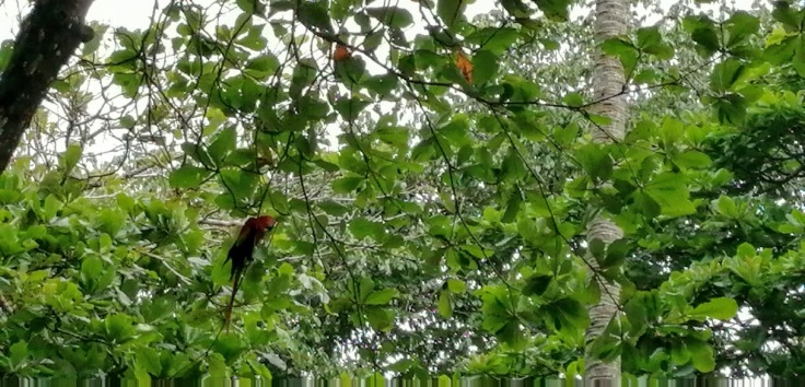 RedMacaws