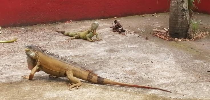 Iguanas2